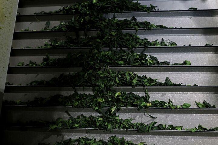 چای سبز 5