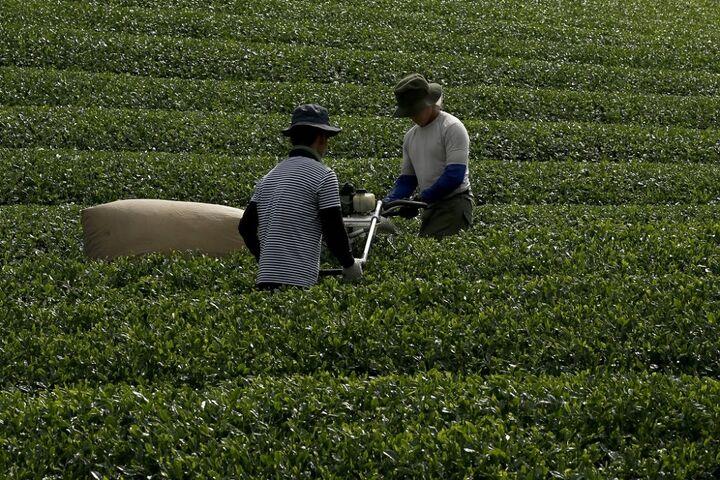 چای سبز 9