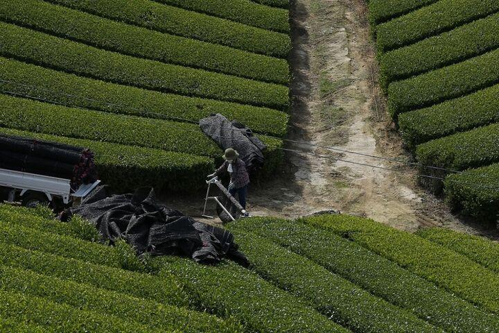 چای سبز 10