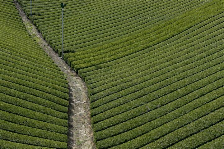 چای سبز 13