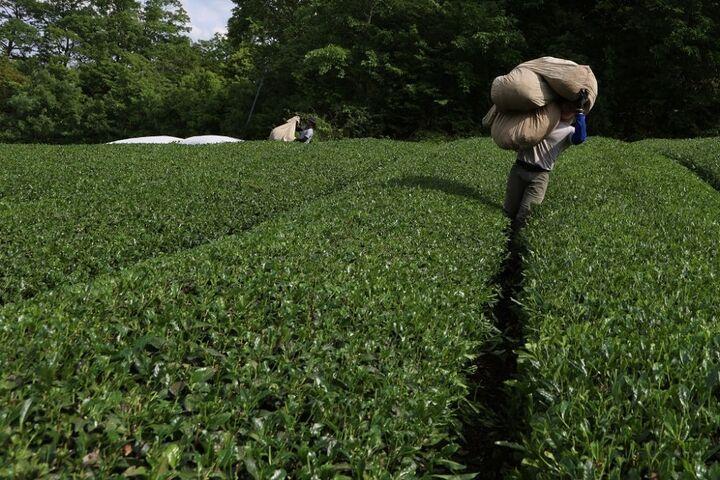 چای سبز 15