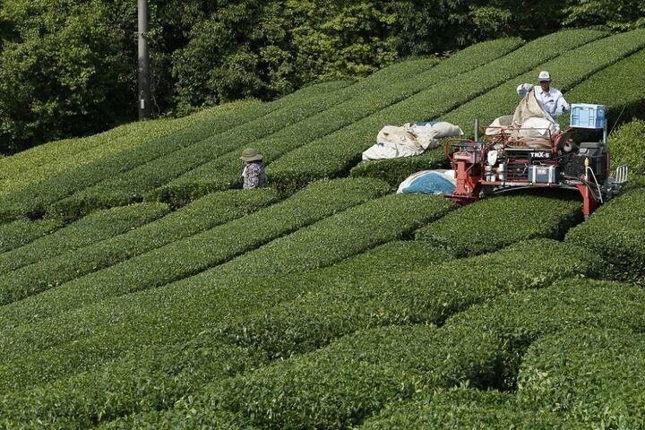 چای سبز 16