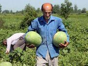 کشاورزان بیگانه با طعم شیرین هندوانه؛ خرید از مزرعه ۵۰۰ تومان، فروش در بازار ۸هزار و ۵۰۰ تومان