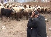 لزوم تسریع در فرآیند خرید دام مازاد  خراسان جنوبی