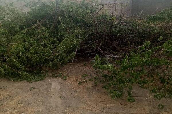 سموم غیرمجازی که زهر محصولات باغی است/ از بین رفتن ۴۰۰ درخت هلو بر اثر تقلبی بودن سموم در ملایر