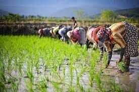 انحصار در تولید برنج تبعات منفی دارد| قزوین قربانی یک قانون غلط شد