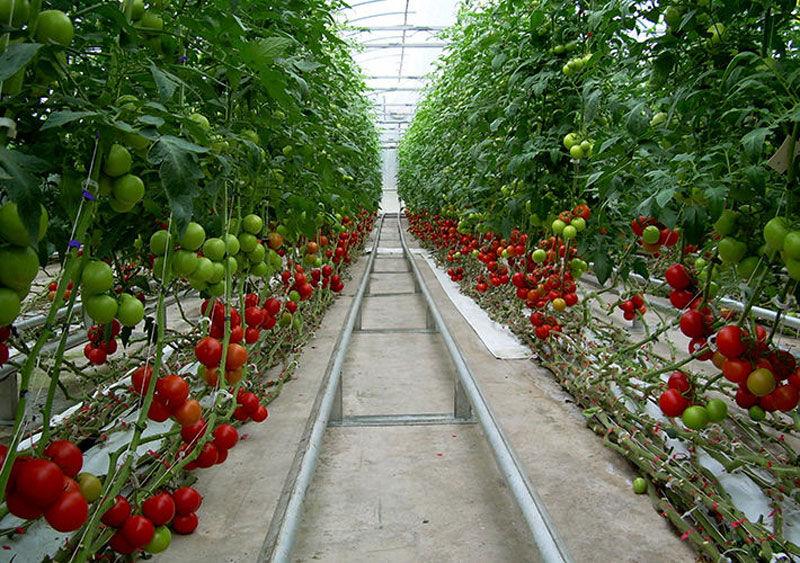 رشد ۲۲درصدی ارزآوری محصولات گلخانه ای  ۳۰درصد تولیدات گلخانه ای روانه بازارهای صادراتی می شود