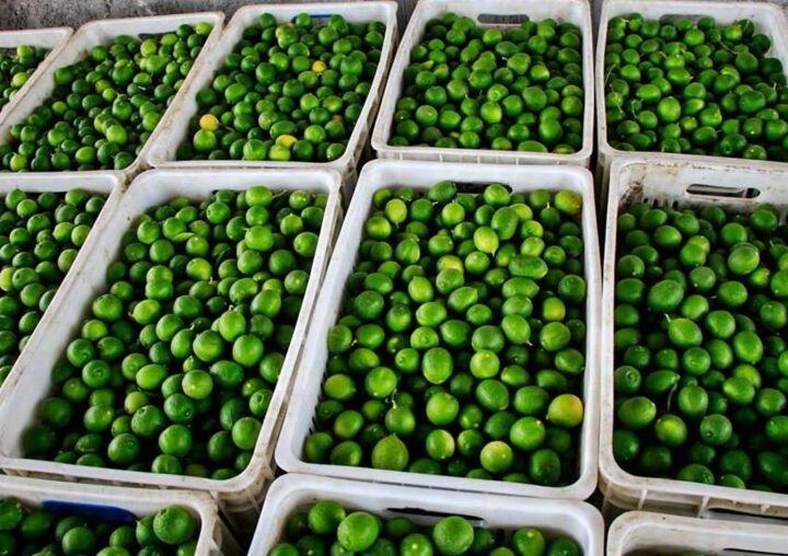 پیش بینی برداشت ۹۰ هزار تن لیموترش از باغات رودان
