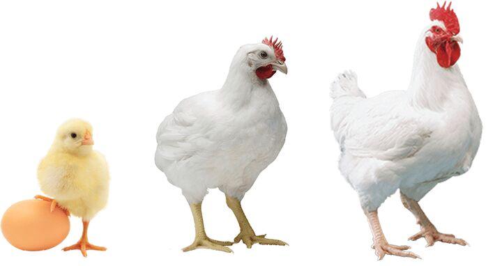 «پولت» در بازار نایاب است| افزایش ۳ برابری قیمت مرغ تخم گذار در بازار