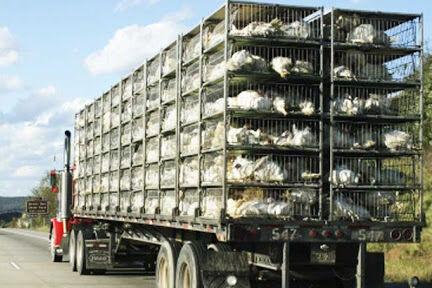 التهاب در بازار استان بوشهر با ارسال غیرمجاز مرغ به استانهای همجوار