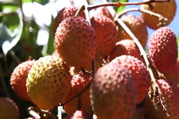 از کشت میوههای استوایی چه میدانید؟