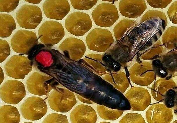 فیلم پرورش ملکه زنبور عسل در خراسان شمالی