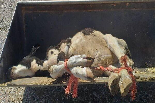 بعداز جوجه کُشی نوبت به گاوکُشی رسید| منتظر گوشت 300 هزار و شیر 20 هزار تومانی باشید!