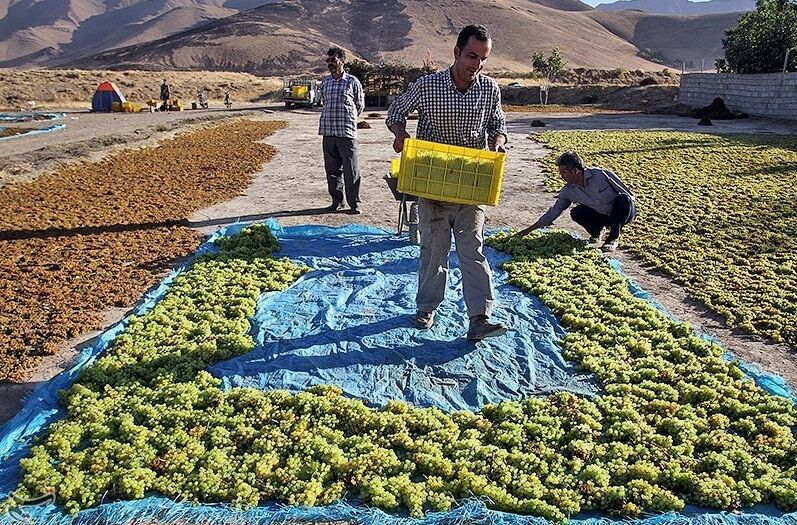 «صادرات فلهای» دسترنج کشاورزان را بر باد میدهد؛ قطب تولید کشمش ایران گمنام مانده است