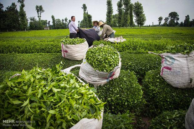 واردات چای تاثیر منفی بر تولید آن در کشور دارد؟