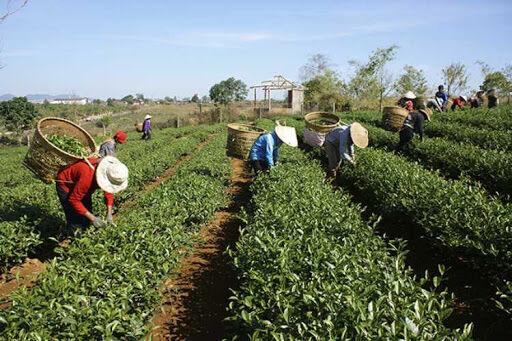 بازرگانان هندی برای تجارت چای با ایران التماس میکنند
