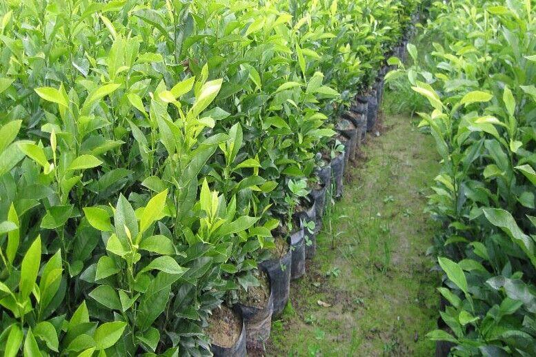 دره شهر مستعد کشت«به لیمو»/ محصولی  که به خارج از کشور هم صادر شد