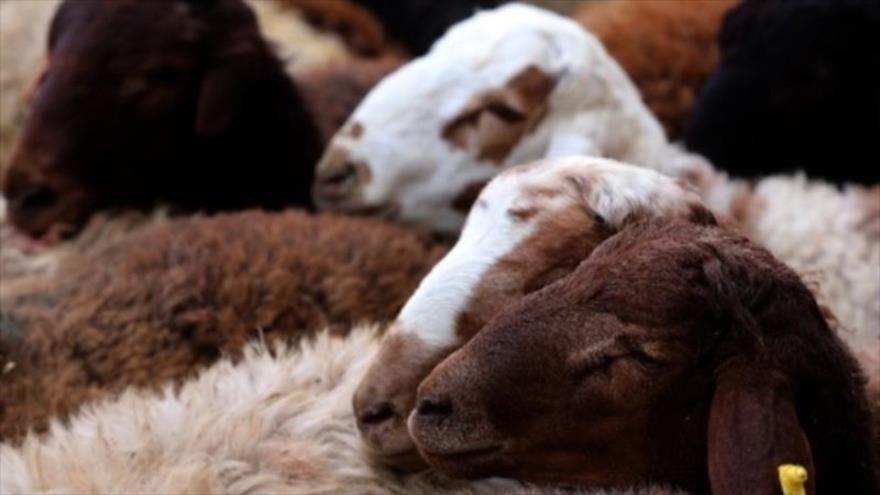 اصلاح الگوی تولید با سنتز نژادی دام سبک در همدان  وقتی مسیر پرورش گوسفند اقتصادی میشود