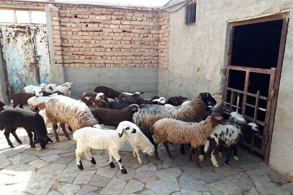 اصلاح الگوی تولید با سنتز نژادی دام سبک در همدان| وقتی مسیر پرورش گوسفند اقتصادی میشود