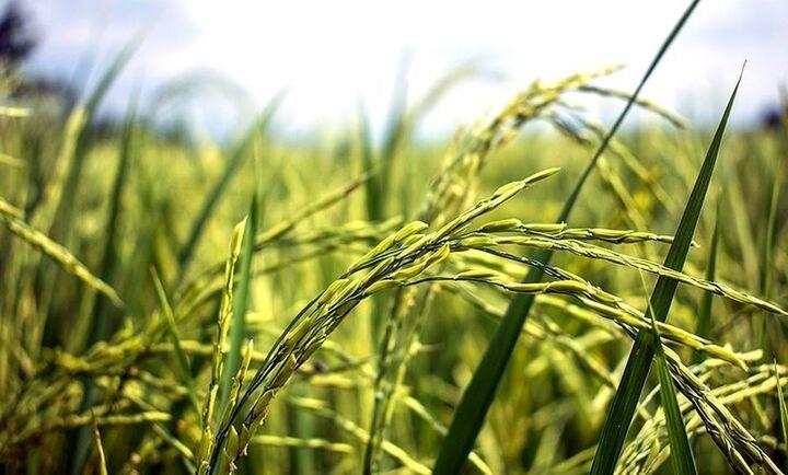 مشکلات تولید در بخش کشاورزی در کرمان بررسی شد