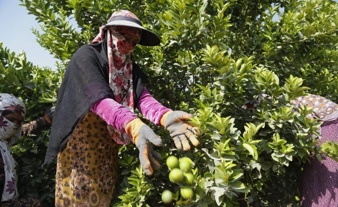 روزهای تلخ لیمو ترش رودان| نگاه کشاورزان به دولت سیزدهم