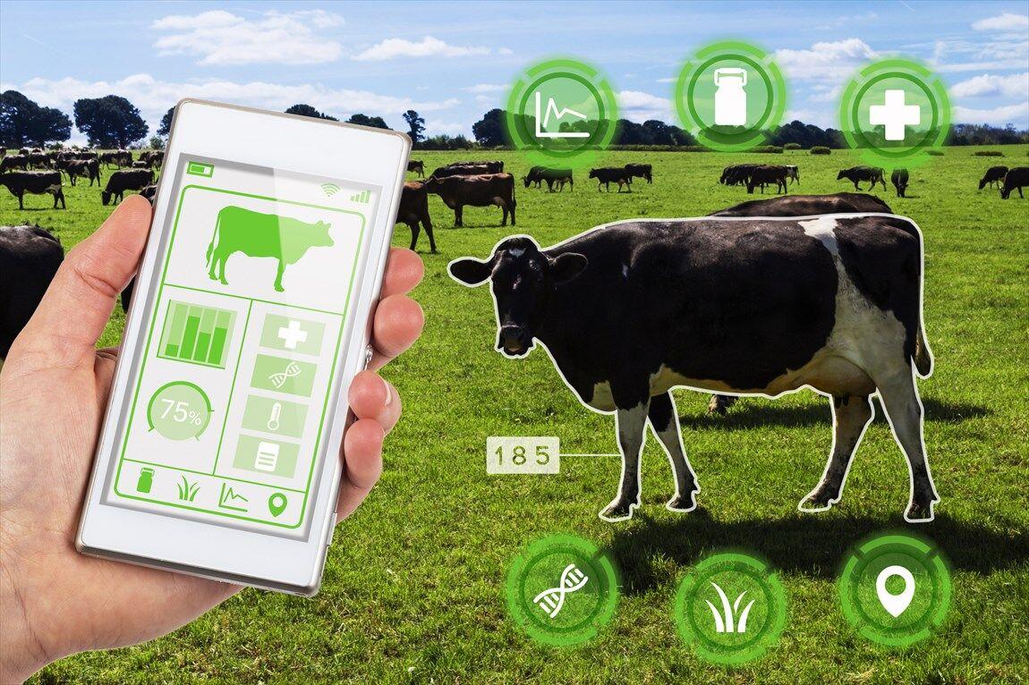 فناوری در کشاورزی مدرن  گاو متصل به اینترنت؛ انقلابی در مدیریت دام