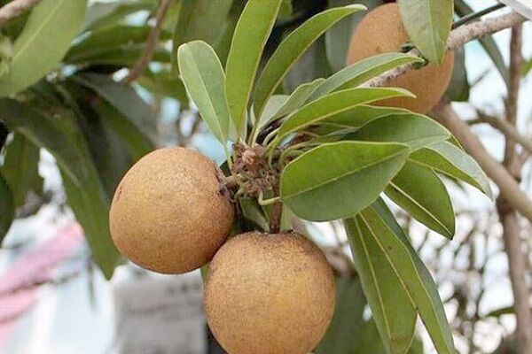 ۱۲۰۰ تن میوه گرمسیری «چیکو» در سیستان و بلوچستان برداشت شد